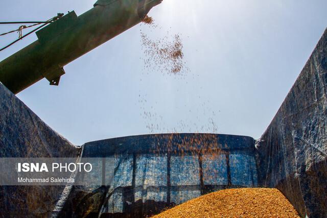 پیش بینی فراوری 67 هزار تن گندم در خرم آباد