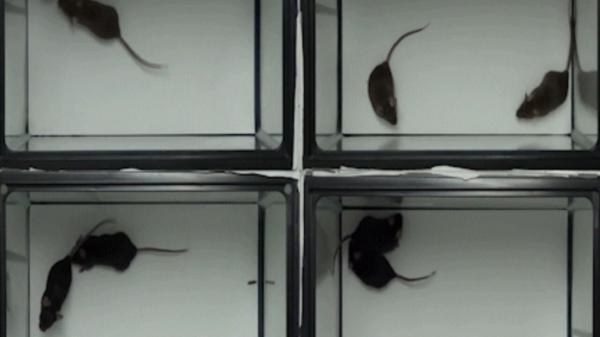 آزمایش هایی که نشان می دهد موش ها با یکدیگر همدردی می نمایند